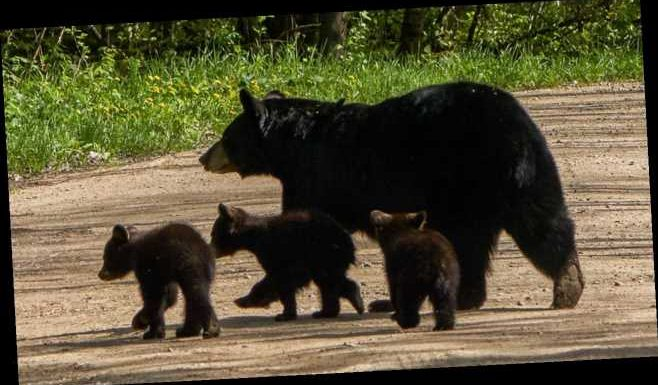 Bear cubs rescued from under Tennessee house reunited with mother back under same home