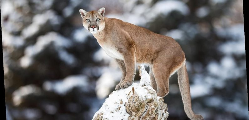 Colorado man fights mountain lion to save dog from attack