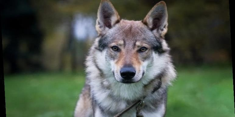 Pet owner shocked to discover her dog is a wolf – and needs to keep it secret