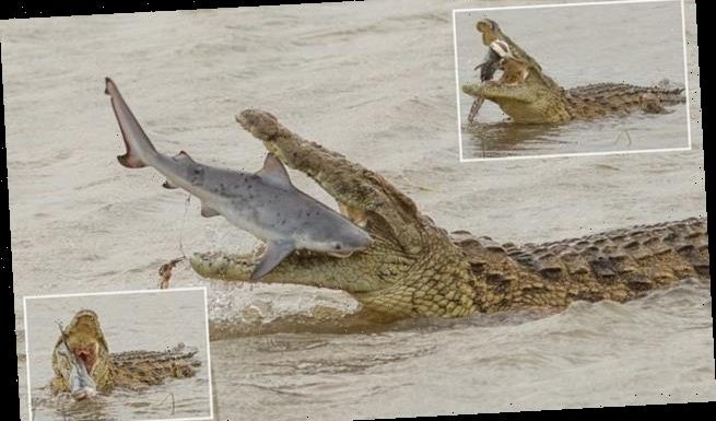 Now THOSE are some jaws! Gigantic crocodile swallows a SHARK