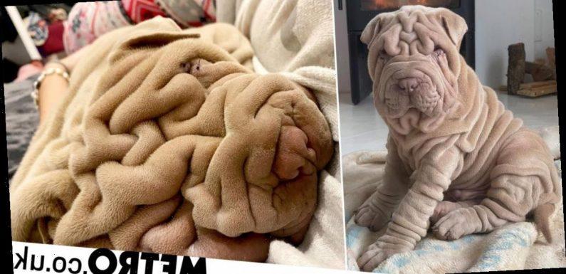 Harvey the shar pei has so many wrinkles he looks like a bunched-up blanket