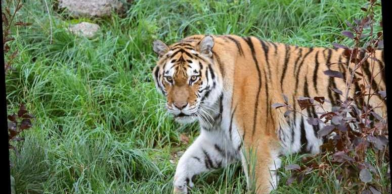 Endangered Tiger at Colo. Zoo Dies After Undergoing Artificial Insemination Procedure: 'A Life Ended Too Soon'