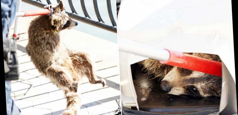 NYPD nabs masked bandit: Raccoon captured on UES promenade
