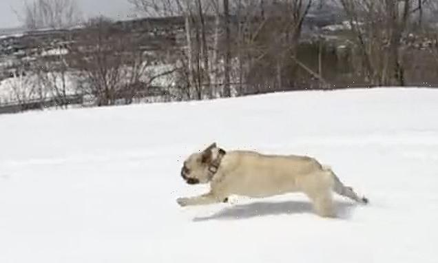 French bulldog Marlo races snowboarding owner down mountain in Japan