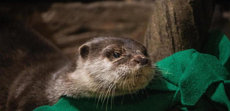 Otters test positive for COVID-19 at Georgia Aquarium