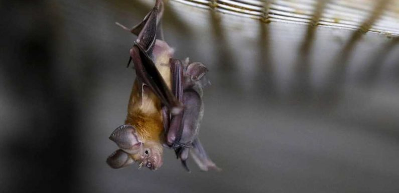 Virus similar to one causing COVID-19 found in UK bats by 22-year-old student