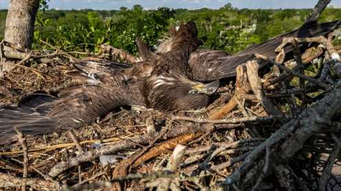 For backyard bald eagles, death of an eaglet the latest blow