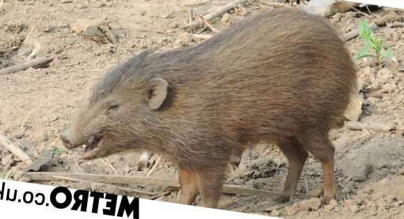World's tiniest pig – just 10 inches tall – is returning to the wild