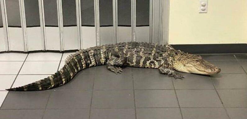 Alligator invades Florida post office