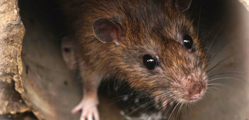 Rat hunters to use facial recognition in war against humanity's greatest pest