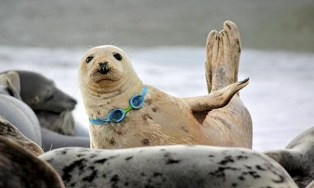 Seal at Hornsey Beach stuck in plastic swimming goggles dumped in sea