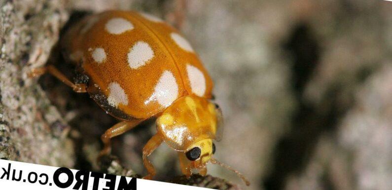 Are orange ladybirds poisonous? Different colours explained