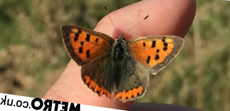 Butterfly numbers in the UK have plummeted and it's a crisis