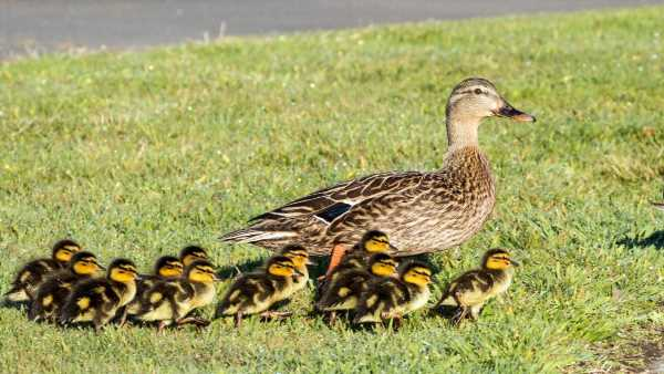 Canterbury woman crashes car into ditch after swerving to avoid ducklings