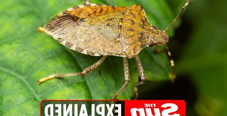 How to keep stink bugs out of your home and get rid of an infestation