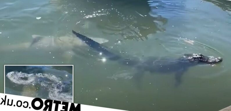 Lurking shark attacks alligator in front of shocked tourists
