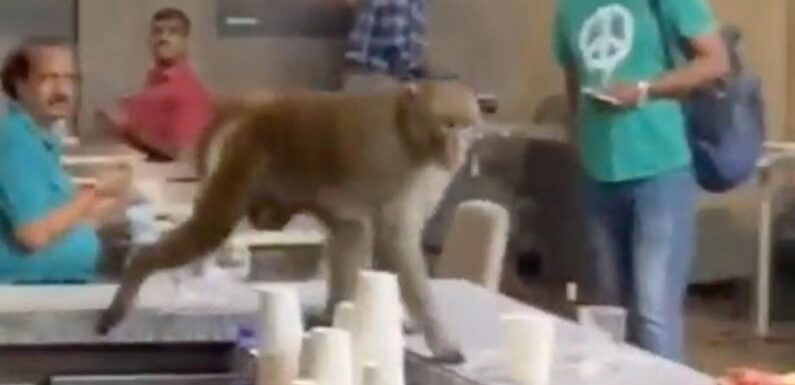 Thirsty monkey wreaks havoc at airport – sneaking behind the bar to steal tipple