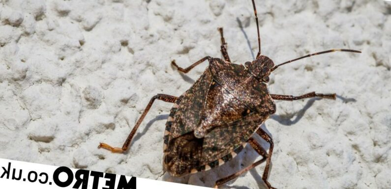 UK facing invasion of stink bugs after being spotted in Surrey